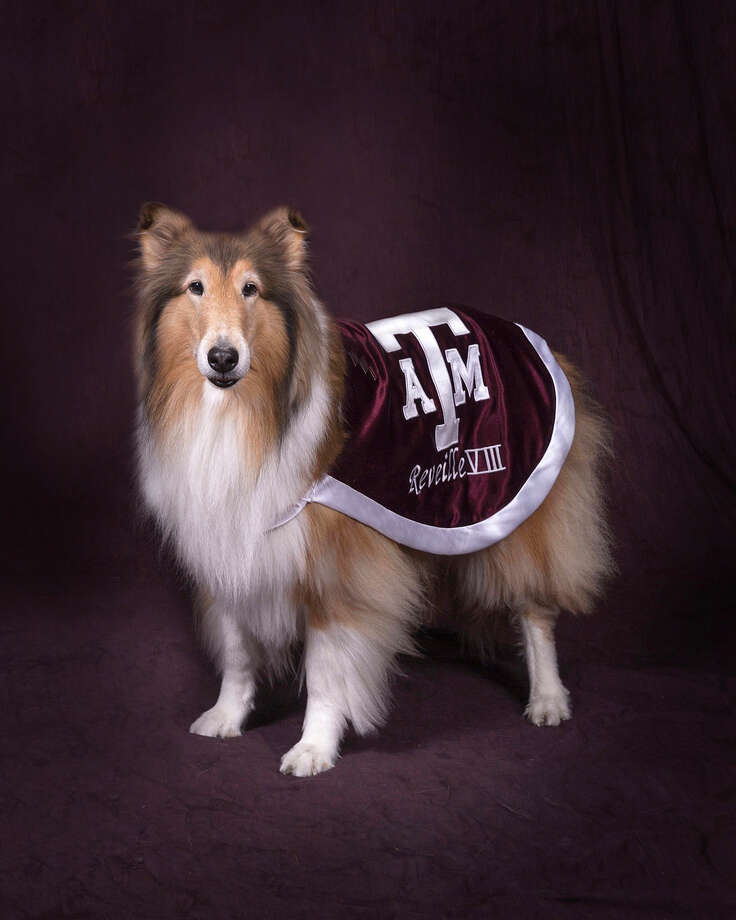 A service has been scheduled Aug. 30 at Kyle Field to remember late Texas A&M collie mascot Reveille VIII. The 12-year-old dog died in June. Photo: Larry Wadsworth                Creative Technologies, Tim Stephenson, Medical Photographer / College Of Veterinary Medicine And Biomedical Sciences, Texas A&M University  / Texas A&M Univ   979 845-1709