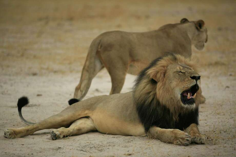 """Cecil"" the lion was a popular attraction among visitors to the Hwange National Park of Zimbabwe. American dentist Walter Palmer is accused of shooting the lion with a bow an arrow.  Photo: -, Handout / AFP"