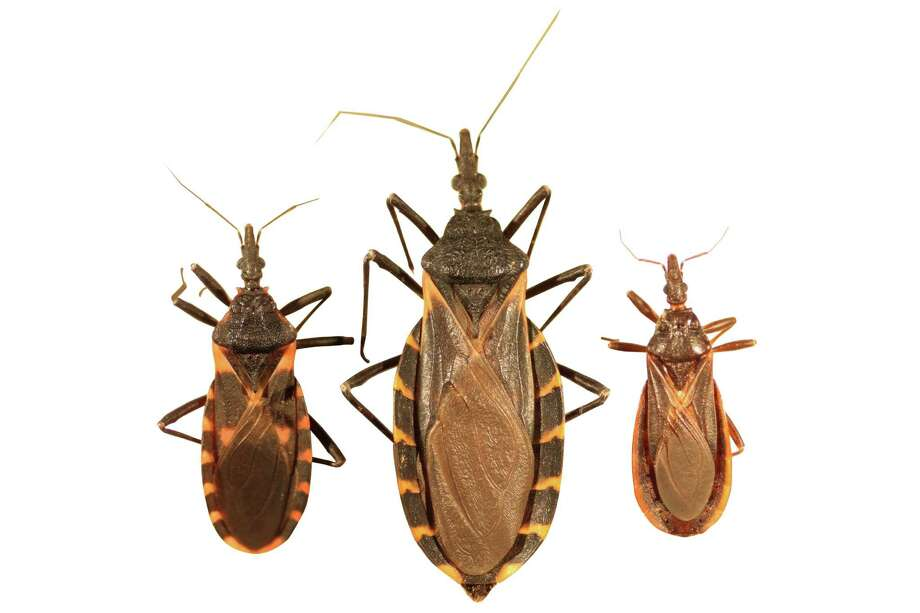 """For many Texans, the bite from a triatoma bug - commonly called """"kissing bugs"""" - can be kiss of death as the inch-long insects carry the parasite that causes Chagas disease, a incurable disease that often causes heart failure. Photo by Dr. Gabriel Hamer, Texas A&M University Photo: Dr. Gabriel Hamer,  Texas A&M University"""