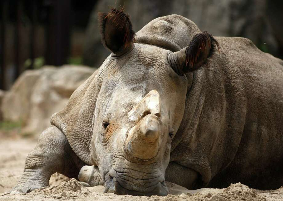 Nabire sits in her enclosure in 2011 at the zoo in Dvur Kralove, Czech Republic. Her death leaves one male white rhino and three females unable to reproduce. Photo: Petr David Josek /Associated Press / AP