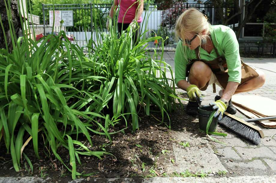 Rosemary Revoir of the Women's Club of Albany works to put compost, perennials and mulch under trees on Madison Avenue between Partridge and Quail streets on Saturday, June 13, 2015, in Albany, N.Y. The club partnered with the Pine Hills Improvement Group as part of their Beautifying Midtown Project. (Cindy Schultz / Times Union) Photo: Cindy Schultz / 00032277A