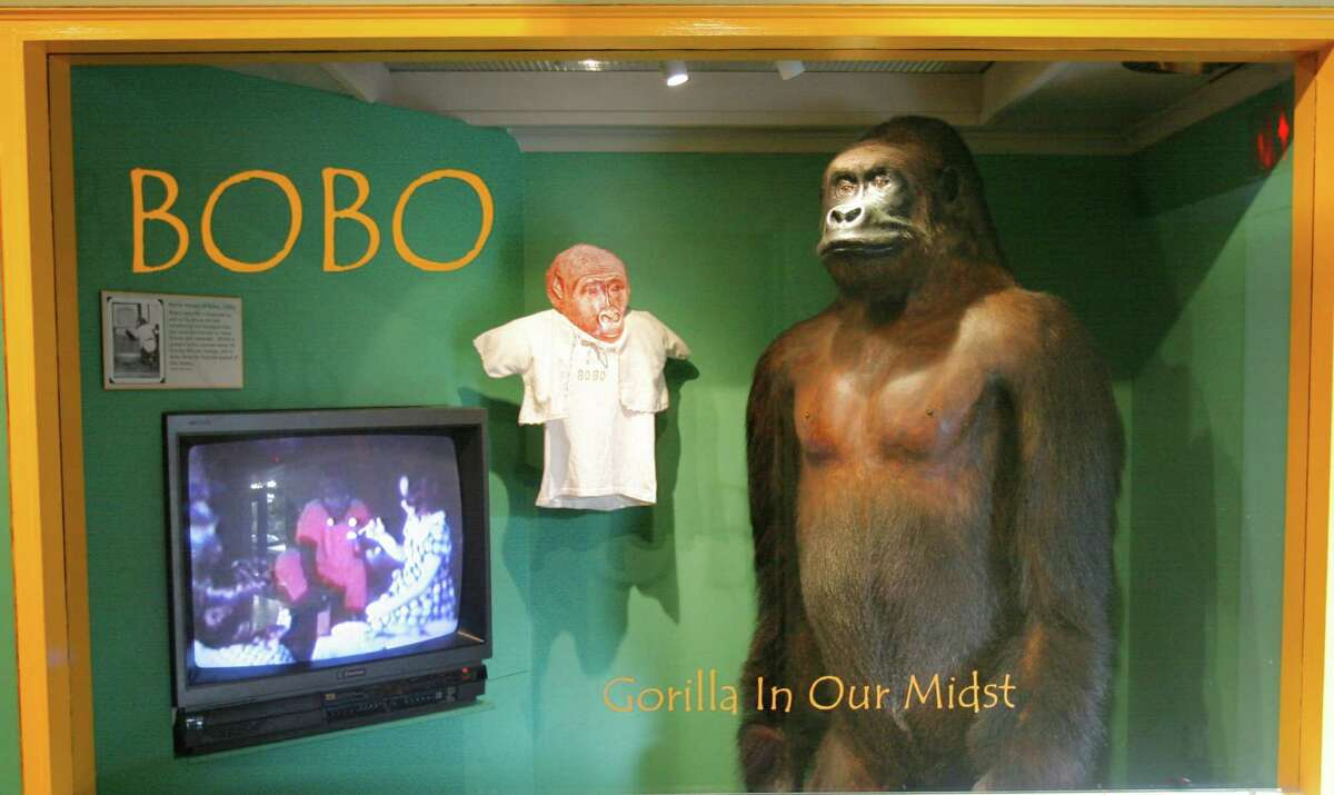 It's Bobo! He was an old friend to those who grew up in Seattle during the 1950s and '60s and a favorite animal at the Woodland Park Zoo. The gorilla is now on display at the Museum of History and Industry. That's right, we stuffed him. That's real love.