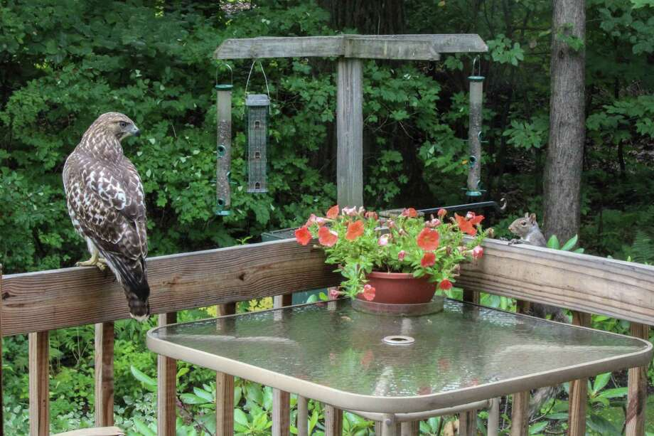 The squirrels keep trying to shoo away the baby Red-Tail Hawks in Dennis Coyle's back yard in Clifton Park.