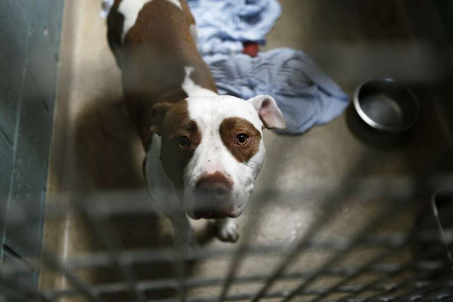 Peepers, a 1-year-old American Staffordshire Terrier, in a kennel at the Oakland Animal Shelter July 29, 2015. She has been at the shelter since March 12, 2015. The Oakland Animal Shelter is currently at 200 percent capacity with it's dog population because they are going above and beyond to find forever homes for dogs rather than euthanize them. Photo: Cameron Robert, The Chronicle