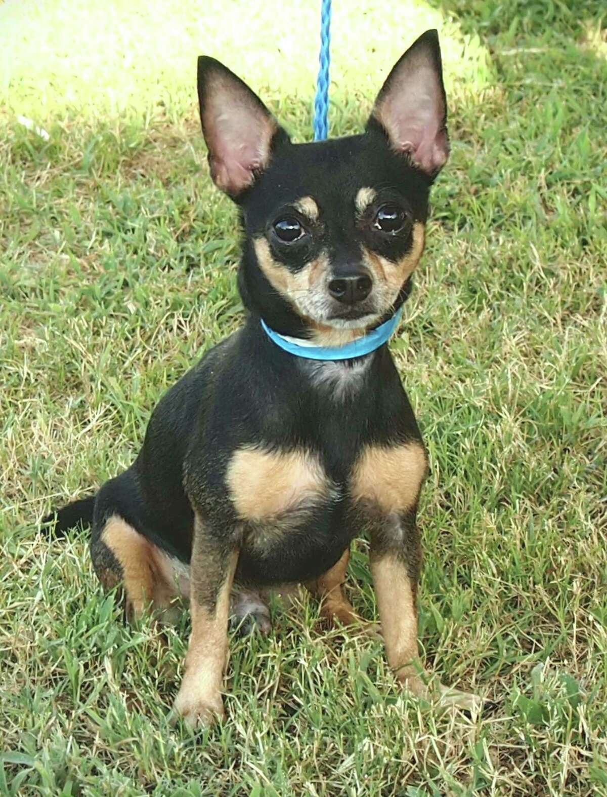 Bean will be available for adoption at 11 a.m. Friday at Citizens for Animal Protection, 17555 Interstate 10 W. More information: cap4pets.org or 281-497-0591.