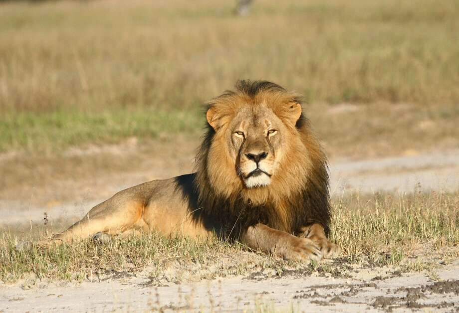 In this undated photo provided by the Wildlife Conservation Research Unit, Cecil the lion rests in Hwange National Park, in Hwange, Zimbabwe. Two Zimbabweans arrested for illegally hunting a lion appeared in court Wednesday, July 29, 2015. The head of Zimbabwe's safari association said the killing was unethical and that it couldn't even be classified as a hunt, since the lion killed by an American dentist was lured into the kill zone. (Andy Loveridge/Wildlife Conservation Research Unit via AP) Photo: Andy Loveridge, Associated Press