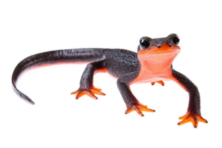 The red-bellied newt (Taricha rivalries), common along the coast in norther California, migrates from upland areas to breed in streams in the spring. It is one of hundreds of species of salamanders endemic to North American threatened by emerging infectious pathogen. Photo: Emanuele Biggi