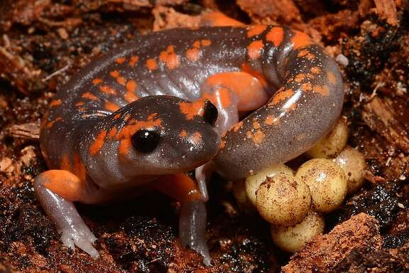 The Ensatina salamander from the Sierra Nevada region guards its eggs. This species is one of the hundreds of species of salamanders endemic to north America threatened by an emerging infectious pathogen.