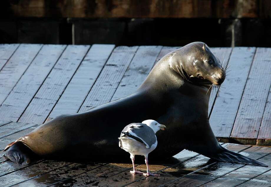 A sea lion keeps a watchful eye on a gull at Pier 39 in San Francisco, Calif. on Saturday, Jan. 19, 2013. The marine mammals have rarely ever left the K-dock since they claimed it as their own 23-years ago. Photo: Paul Chinn / The Chronicle / ONLINE_YES