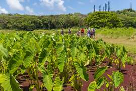 On Tasting Kauai's new monthly  Royal Coconut Coast tour , one of food writer Marta Lane's four food-themed excursions, participants stop at five farms and farm-to-table restaurants on the Garden Island's East Side for tastings and demonstrations. The four-hour tour, available one Thursday each month, costs $120.