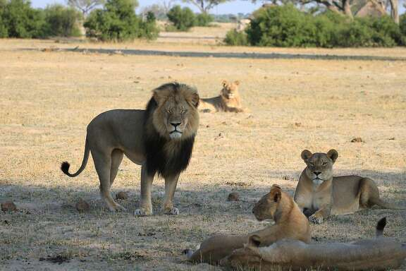 Cecil the lion stands with his pride on the plains in Hwange National Park on Nov. 18, 2012 in Zimbabwe. In July 2015, an American dentist named W. Palmer killed Cecil the lion with a bow and arrow during an illegal hunt in Zimbabwe. The country wants him extradited to face charges. (Paula French/Zuma Press/TNS)