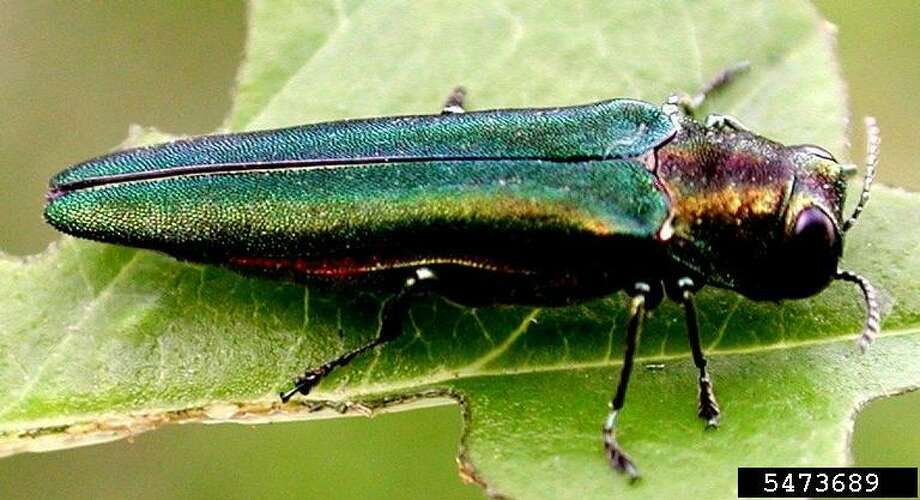 The Emerald Ash Borer or EAB, is a beetle with a bright, metallic green color and it's about 1/2 inch long with a flattened back. Photo: Michigan State University / Dept. Of Entomology / Connecticut Post
