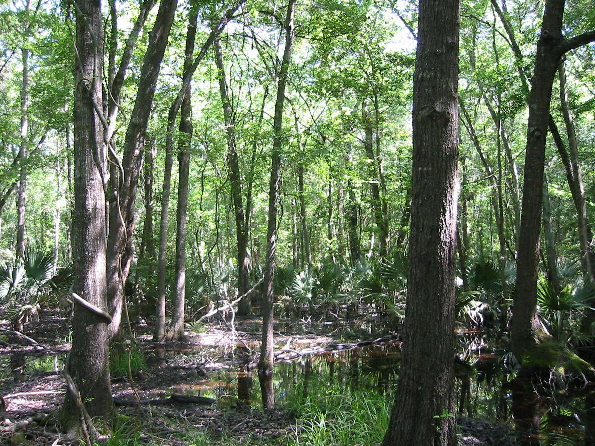 Forested freshwater wetlands of the Houston-Galveston region.