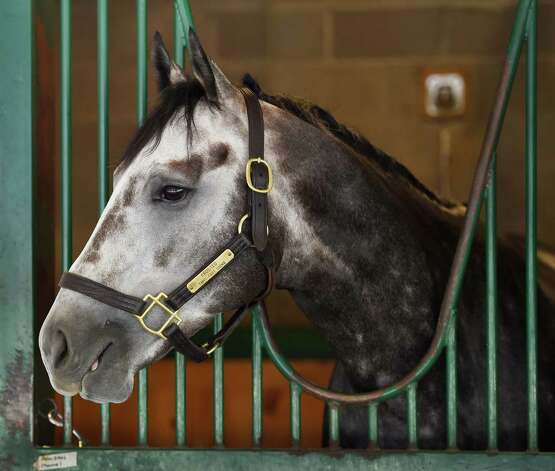 Frosted relaxes in his stall at the former Green Tree Training Center Friday morning July 31, 2015, the day before he is entered in the Jim Dandy Stakes at the Saratoga Race Course in Saratoga Springs, N.Y.      (Skip Dickstein/Times Union) Photo: SKIP DICKSTEIN