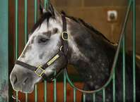 Frosted relaxes in his stall at the former Green Tree Training Center Friday morning July 31, 2015, the day before he is entered in the Jim Dandy Stakes at the Saratoga Race Course in Saratoga Springs, N.Y.      (Skip Dickstein/Times Union)