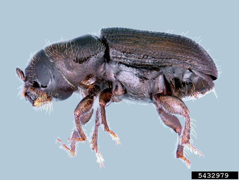 The Southern Pine Beetle is about 2 millimeters long and it's nearly blind. Photo: Contributed Photo
