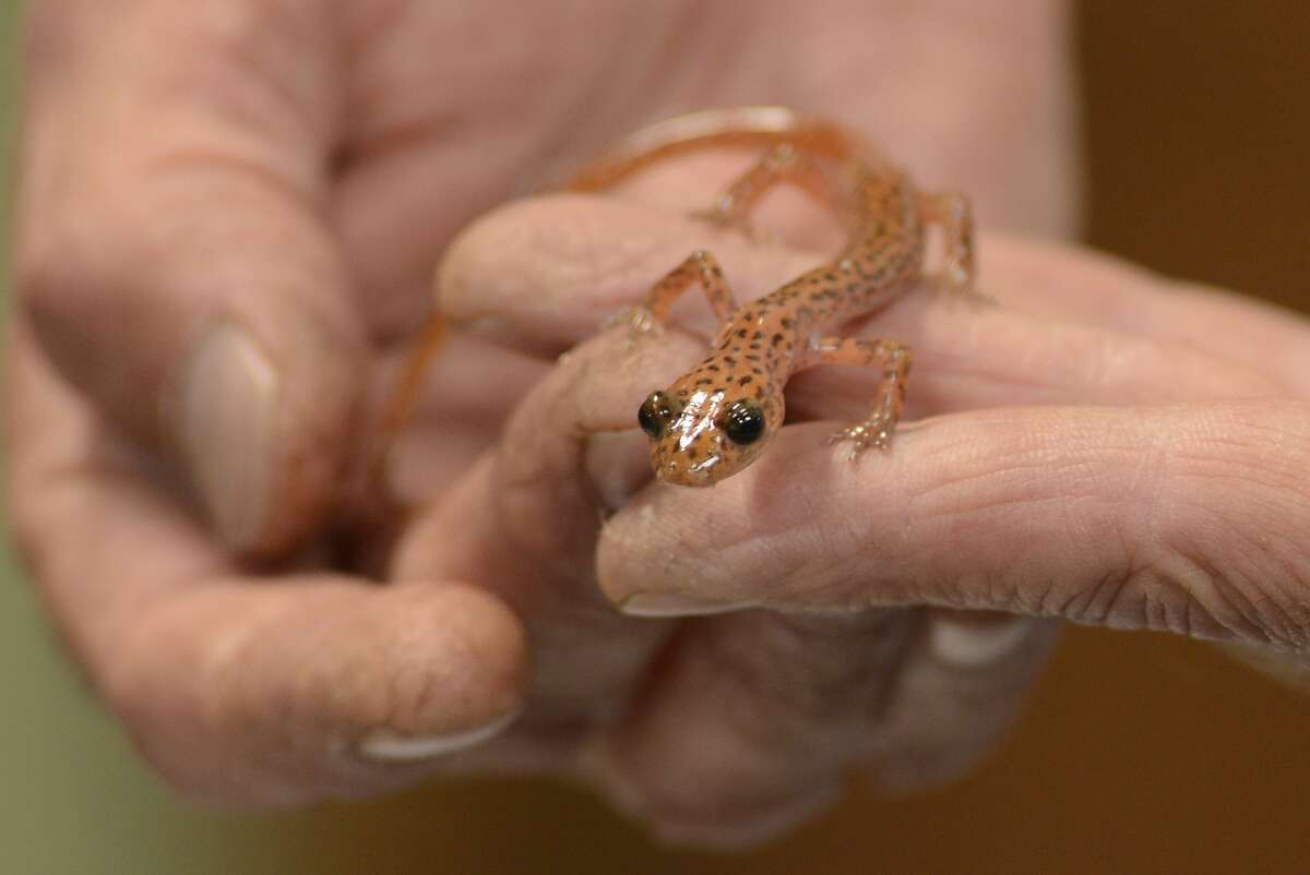 Cave Salamander are sold at the East Bay Vivarium in Berkeley, California, on Friday, July 31, 2015.