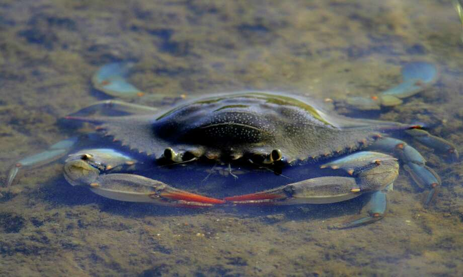 During summer, adult female blue crabs, such as this one foraging in a shallow Galveston Bay estuary, often gather in lower reaches of bay systems and migrate to spawn in near-shore waters. Photo: Picasa
