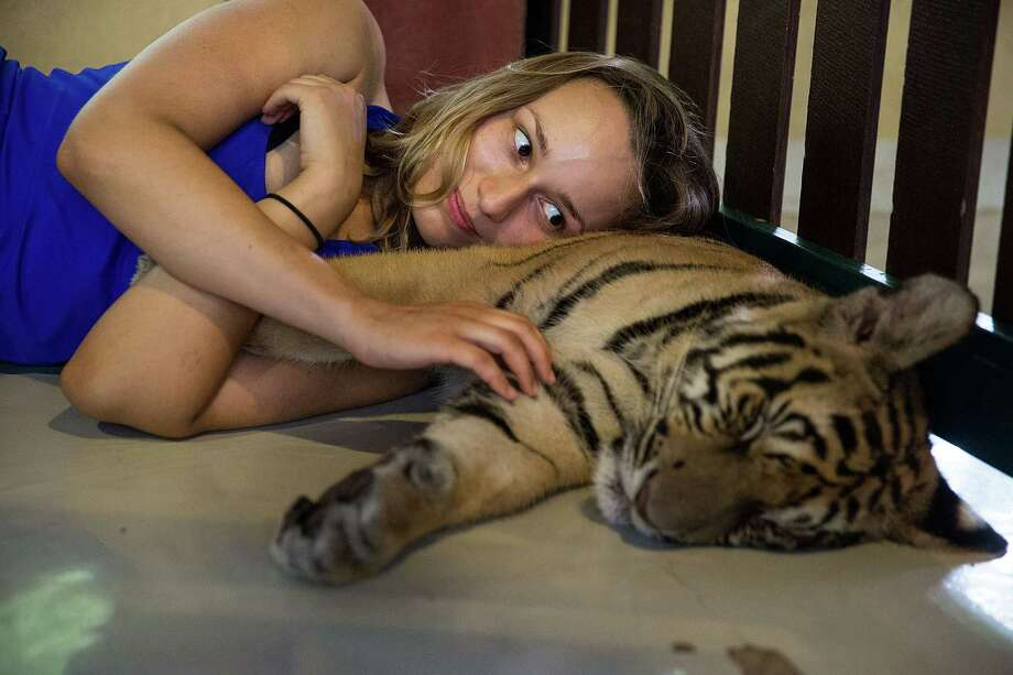 A tourist lies on a sleeping tiger's belly on July 29, 2015 in Mae Rim, Thailand. Face painting and celebrations marked International Tiger Day at Tiger Kingdom where tourists can pay to pet tigers and pose for photos.  (Photo by Taylor Weidman/Getty Images) Photo: Taylor Weidman, Getty Images  / 2015 Getty Images