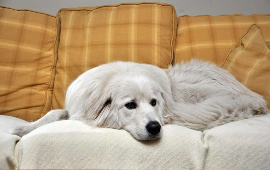 Hudson, a 3.5 year old great pyrenees, relaxes on the sofa in the Harding's living room on Sunday. Photo: Amy Mortensen / Connecticut Post