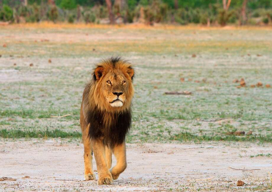 Cecil the lion roams on the plains in Hwange National Park on Nov. 18, 2012 in Zimbabwe. In July 2015, an American dentist named W. Palmer killed Cecil the lion with a bow and arrow during an illegal hunt in Zimbabwe. The country wants him extradited to face charges. (Paula French/Zuma Press/TNS) Photo: Paula French, McClatchy-Tribune News Service