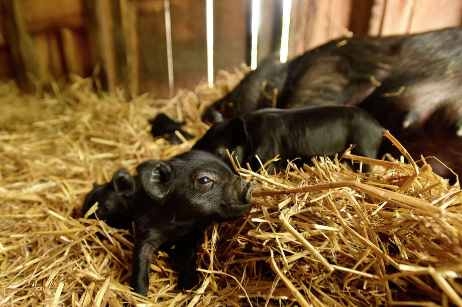 Discover what it takes to be a farmer on Heckscher Farm at the Stamford Museum and Nature Center, 39 Scofieldtown Road, Wednesdays through Aug. 19. These baby pigs were born on the farm in June. Photo: Jason Rearick / Hearst Connecticut Media / Stamford Advocate