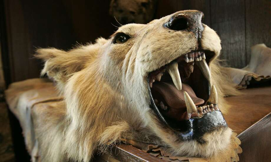A lion's head and skin from an African safari. Photo: Kathy Willens, Associated Press
