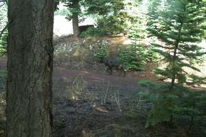 Trail camera catches 2nd gray wolf in California - Photo