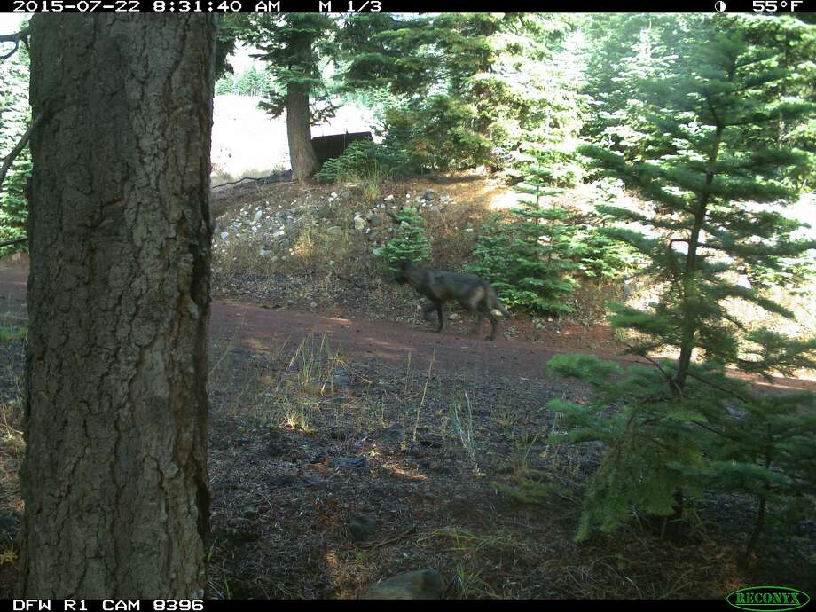 Remote trail cameras have captured images of what California Department of Fish and Wildlife officials believe to be a gray wolf in Siskiyou County. Photo: Trail Camera, California DFW