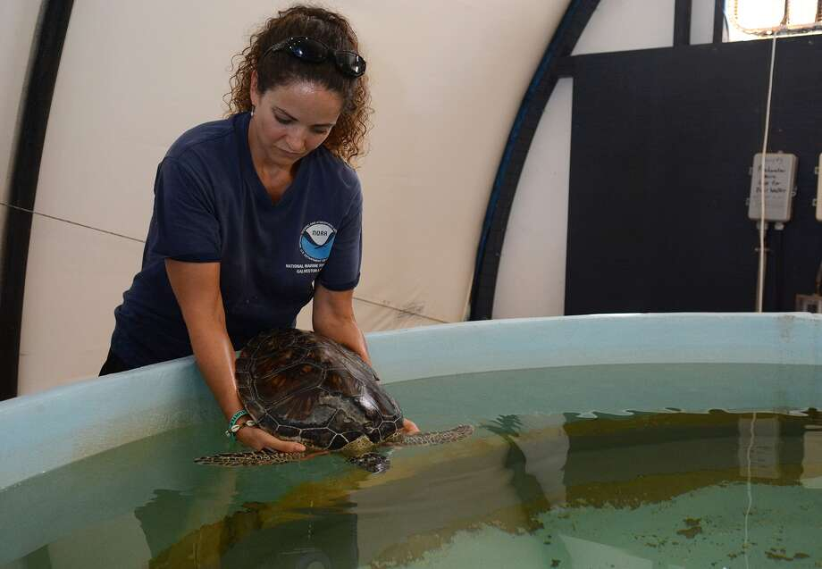 Lyndsey Howell, a research fishery biologist at the National Oceanic and Atmospheric Administration Sea Turtle Research Facility in Galveston, puts a green turtle back into a rehab tank. She  is accustomed to calls at odd hours reporting turtles in distress. Photo: Jerry Baker, Freelance