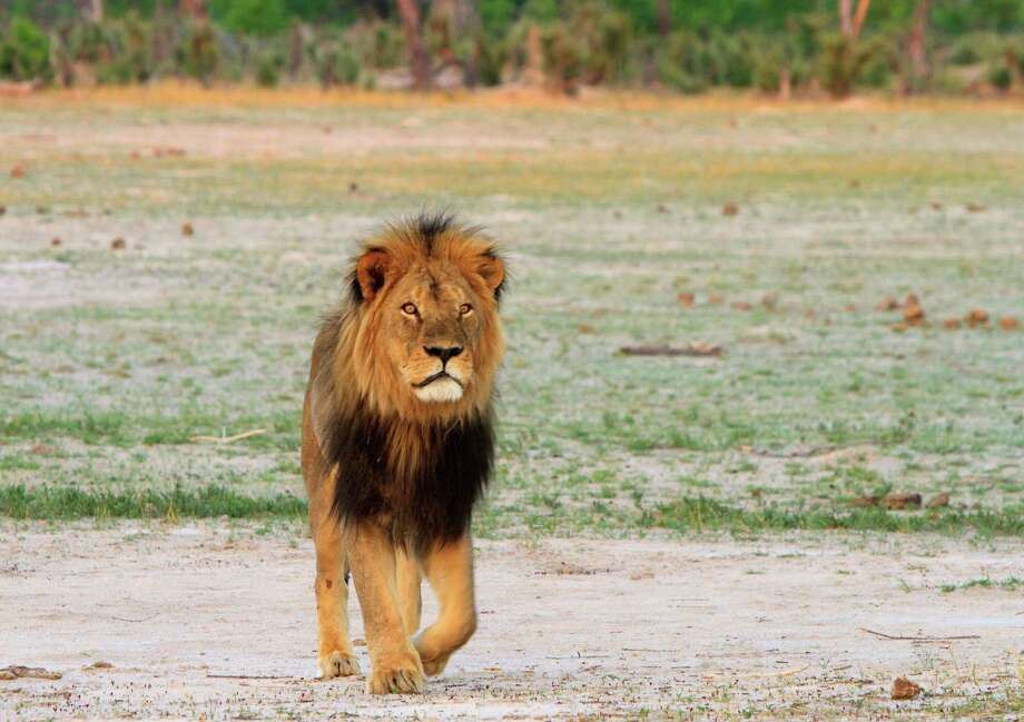 After the death of Cecil the lion, above, during an illegal hunt in Zimbabwe, the country is accusing another American of killing a lion without approval. Pennsylvania's Dr. Jan Seski says his hunt was lawful and happened in July. Photo: Paula French, MBR / Zuma Press