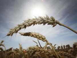 Last wheat stands on a field in Frankfurt, Germany, Tuesday, Aug. 4, 2015. Hot temperatures are forecasted for the next days in Germany. (AP Photo/Michael Probst)
