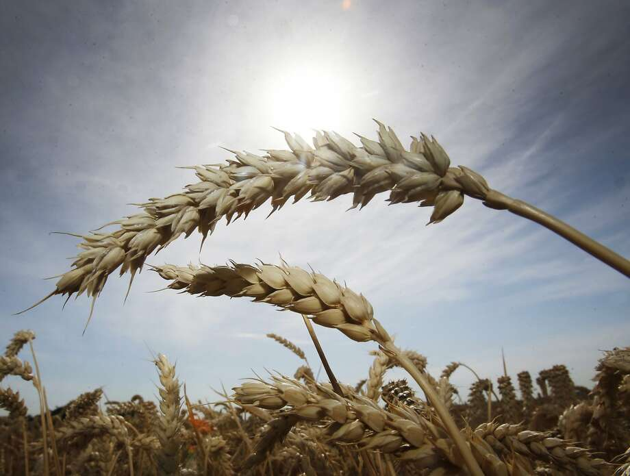 Last wheat stands on a field in Frankfurt, Germany, Tuesday, Aug. 4, 2015. Hot temperatures are forecasted for the next days in Germany. Photo: Michael Probst, Associated Press