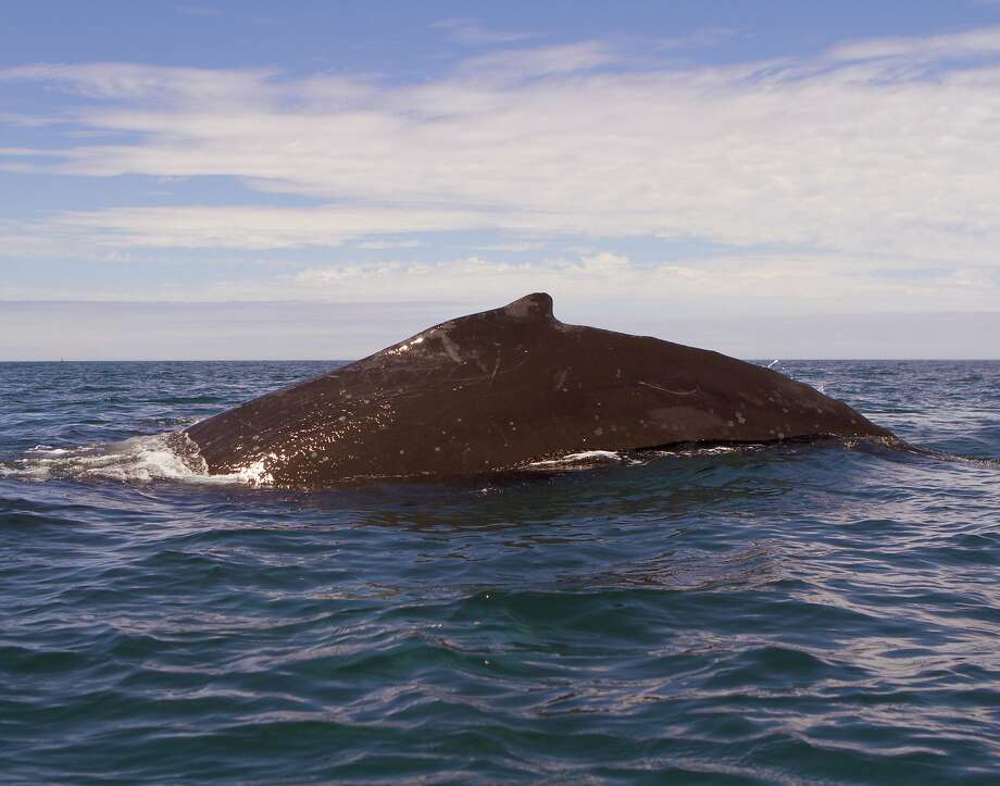 A 50 Foot Humpback Whale Little Over Mile Offs Moss Landing Harbor At