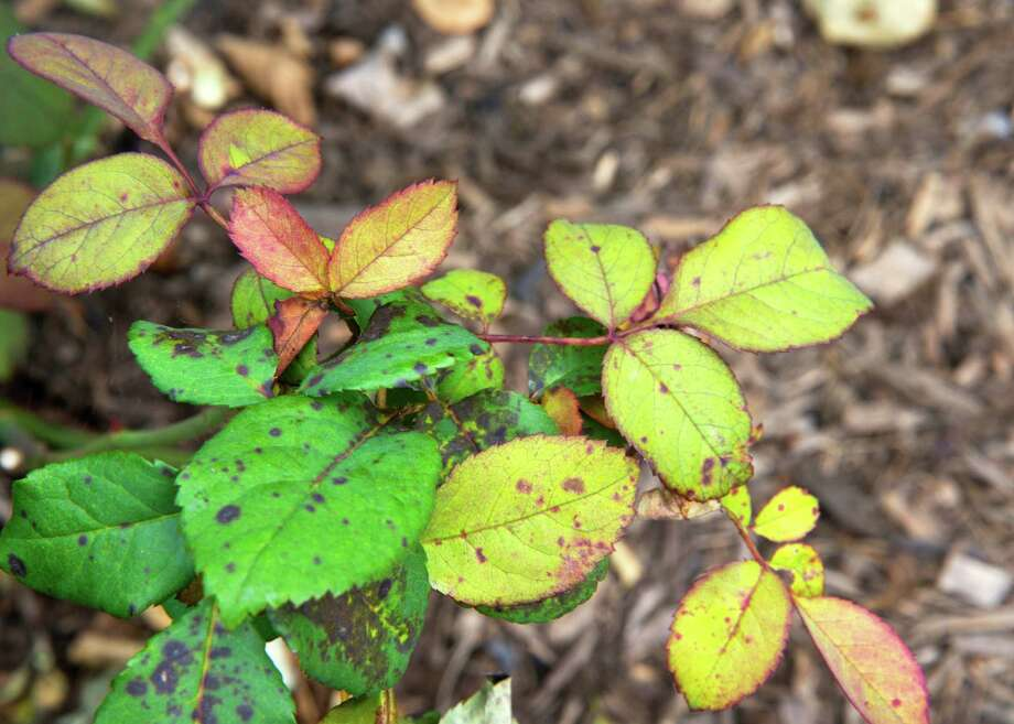 Black spot is a descriptive name for the fungal disease that causes roses to drop their leaves. Before leaves fall, they are affected with black or brown spots ringed in yellow. Photo: Courtesy Neil Sperry
