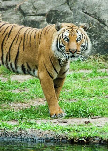 """Pandu, one of the Houston Zoo's two elderly Malayan tigers, was euthanized Wednesday due to medical reasons. Zoo officials say the 16-year-old, nicknamed """"Professor,"""" had become lethargic, uninterested in eating and showed signs of being in pain. Photo: Houston Zoo"""
