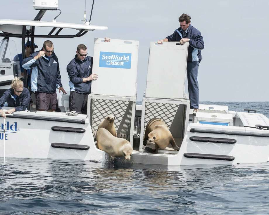 Three California sea lions are returned to the ocean last month by a SeaWorld rescue team. They were rehabilitated by SeaWorld after the May oil spill near Santa Barbara. SeaWorld says it cared for 62 mammals affected by the spill.  Photo: Handout / 2015 SeaWorld San Diego