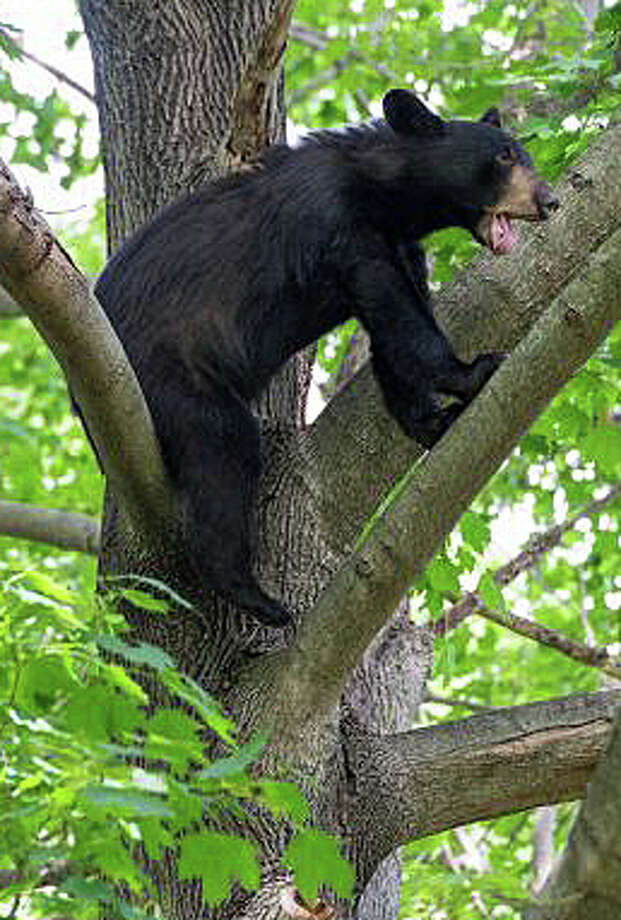 This bear was captured after it climbed a tree in a Denise Terrace backyard and was tranquilized in late June. Photo: File Photo / Fairfield Citizen