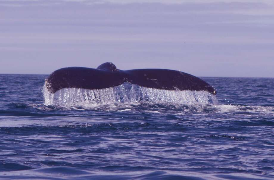 A whale fluke -- 15 feet wide -- so powerful, they create a vortex in the water. Humpback whales have swum as a close as a mile from this past week shore at Moss Landing in Monterey Bay Photo: Giancarlo Thomae