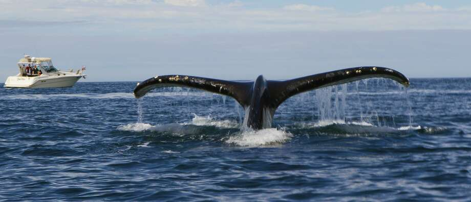A whale approaches and begins dive directly under kayak of photographer Photo: Giancarlo Thomae