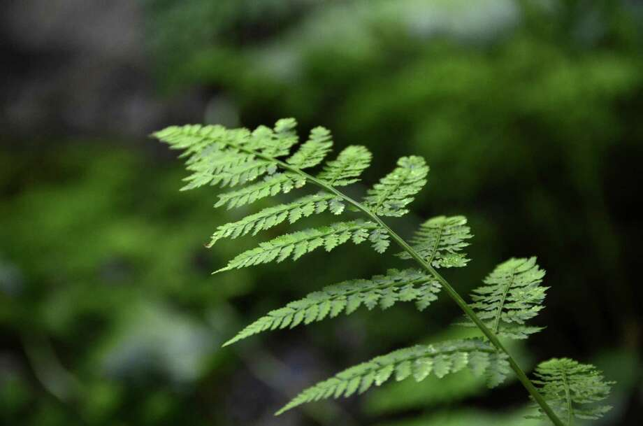 A fern grows in the Pottery Terrace Planter garden at Fallingwater in Mill Run, Pa. (Doug Oster/Pittsburgh Post-Gazette/TNS) Photo: Doug Oster, MBR / TNS / Pittsburgh Post-Gazette