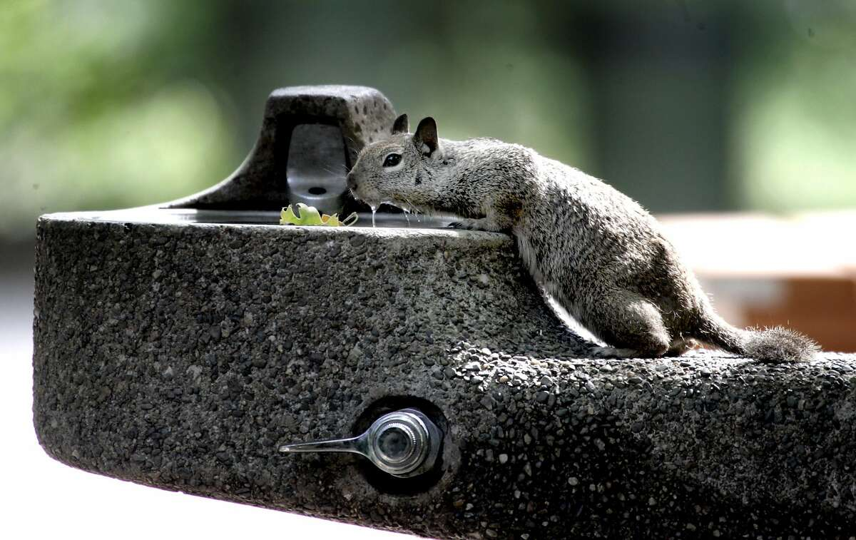 A squirrel seeks out water from a valley floor drinking fountain in Yosemite in a file photo.
