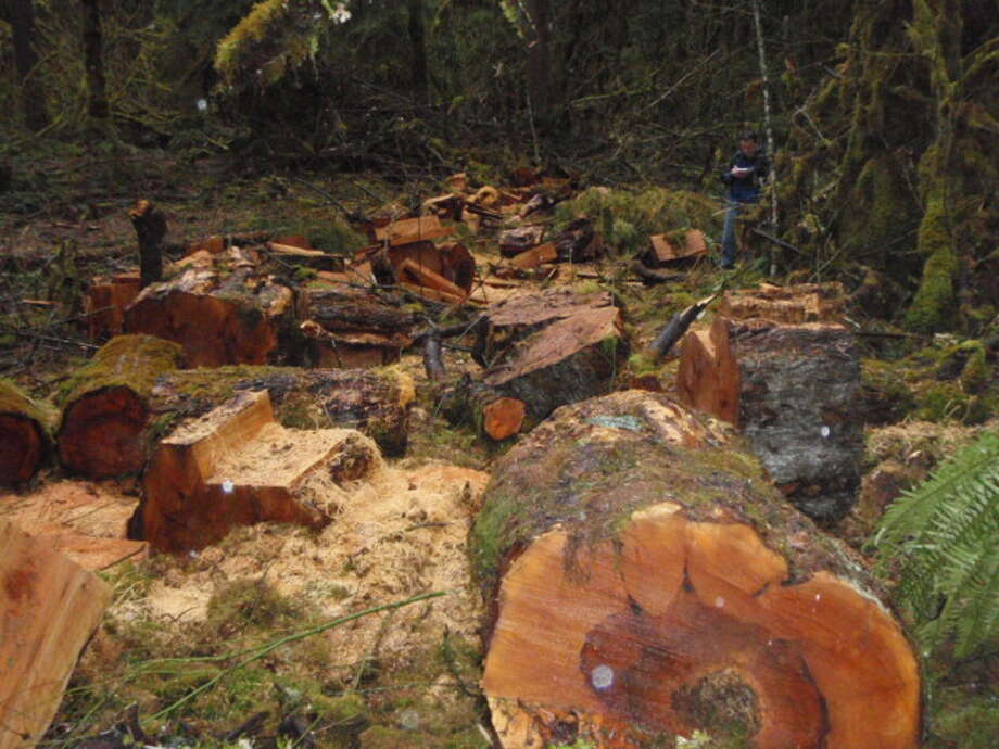 Illegally harvested maple trees, pictured in a Justice Department photo.