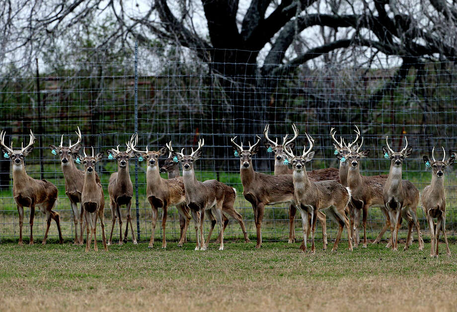 Two more deer have tested positive at the same Medina County ranch where chronic wasting disease was detected in a single deer earlier this year. Photo: San Antonio Express-News / File Photo / San Antonio Express-News