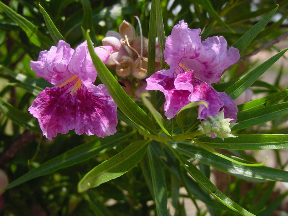 Desert willow is a small tree with flowers that appeal to hummingbirds. Photo: Courtesy Jerry M. Parsons