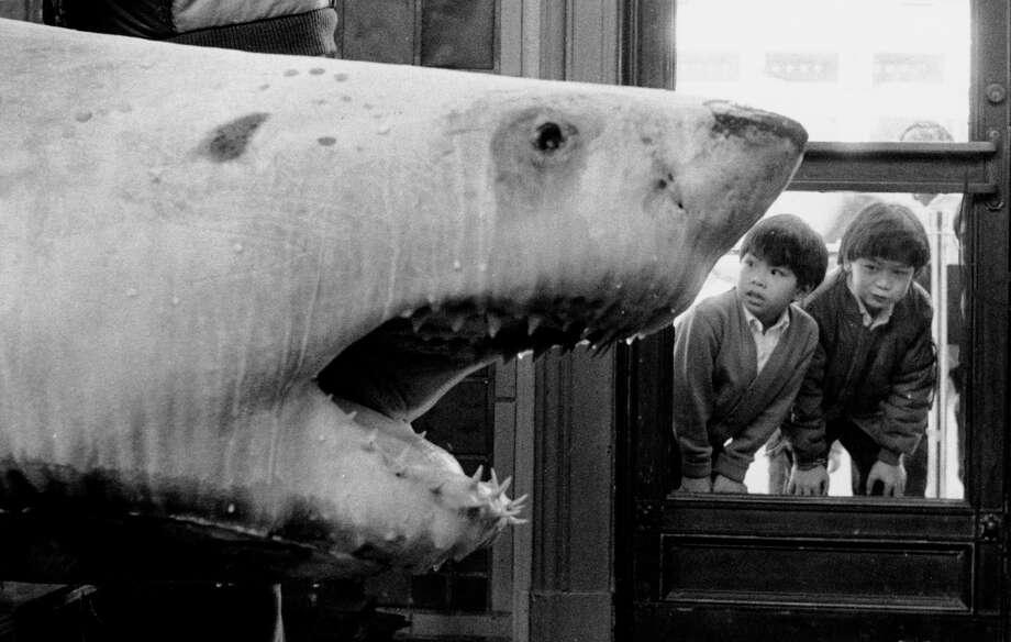 A shark is on display near the Steinhart Aquarium at the old Academy of Sciences. Photo taken circa February 1989. Photo: Caroline Kopp / Caroline Kopp / The Chronicle 1989 / SFC