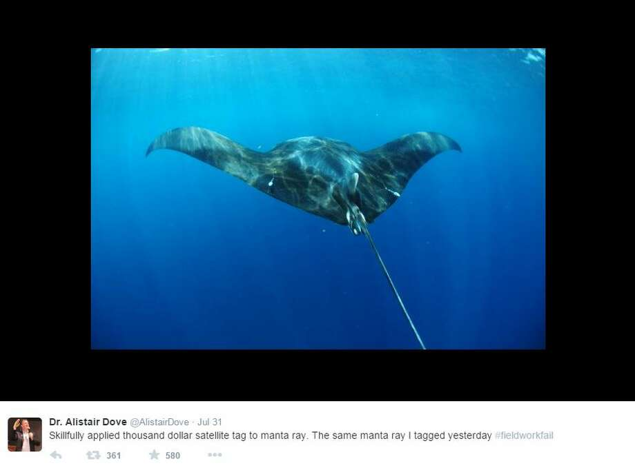 """Skillfully applied a thousand dollar satellite tag to manta ray. The same manta ray I tagged yesterday #fieldworkfail,"" @Alistairdove Photo: Medina, Mariah, Courtesy Photo"