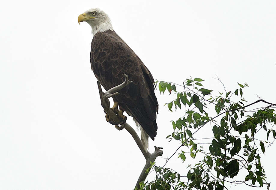 A adult bald eagle perches on a branch high above the Housatonic River in Milford. The eagle and its mate have been nesting this year in the Laurel Beach section where they have been raising a chick. Below, Kevin Stein, of Milford, borrows the spotting scope of Trumbull birder Jim Cortina, left, to view a male adult bald eagle Photo: Brian A. Pounds / Hearst Connecticut Media / Connecticut Post