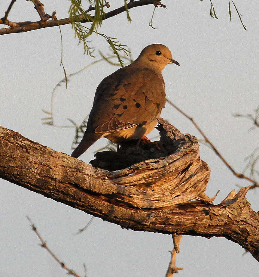Texas' resident mourning doves appear to be having their second consecutive excellent nesting season, boosting the population of the state's most popular game bird to as many as 50 million and setting the stage for 300,000-plus wingshooters anticipating the Sept. 1 opening of dove season. Photo: Picasa