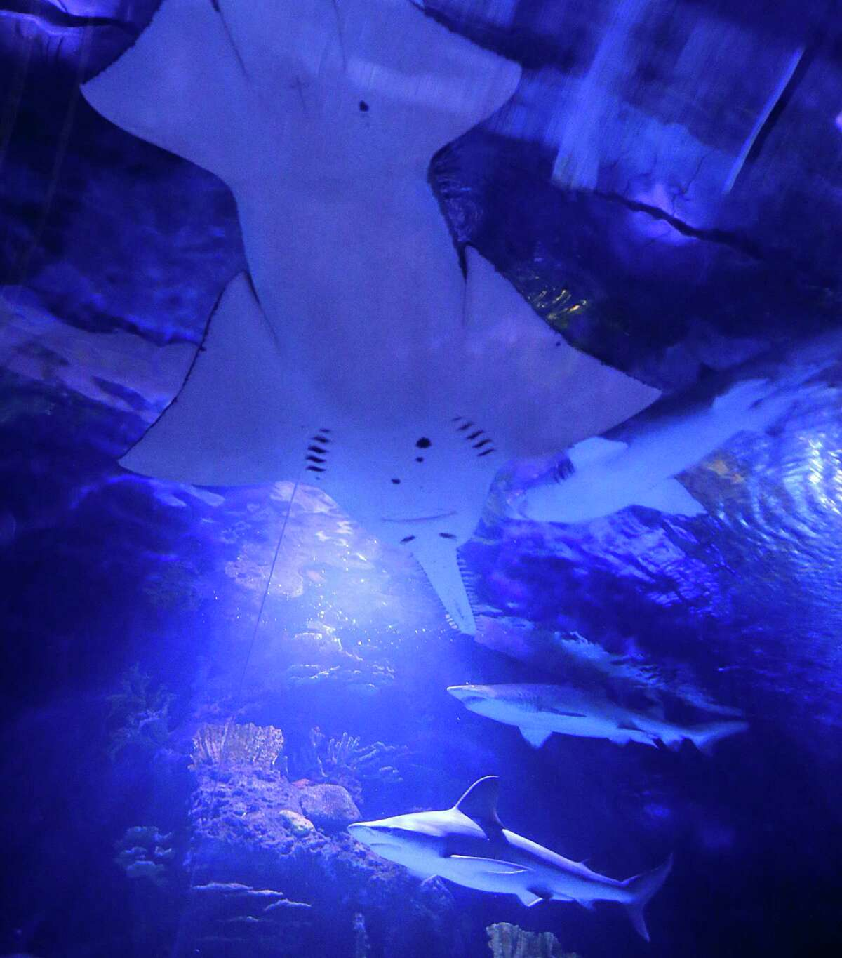 A sawfish and sharks inside the 200,000 gallon shark tank during Shark Weekend at the Downtown Aquarium Saturday, Aug. 8, 2015, in Houston.